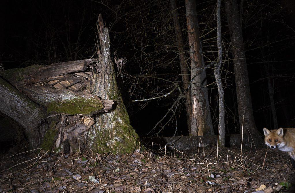 Lis (Vulpes vulpes). fot. J. Solarczyk