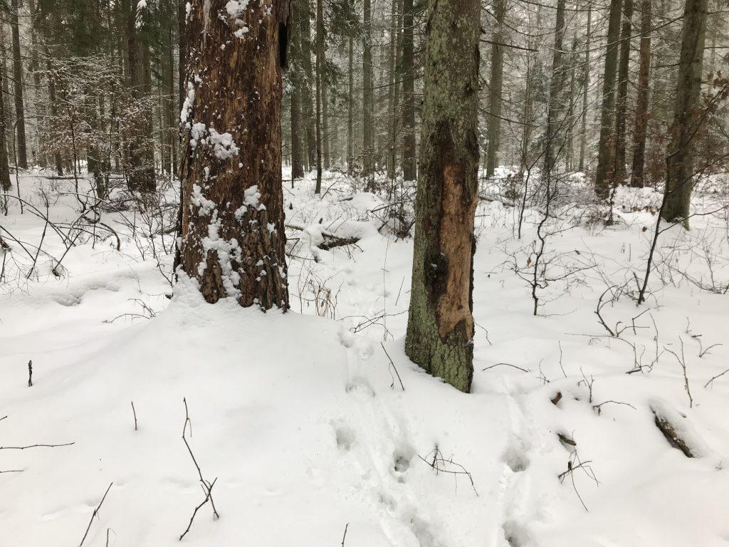 Tropy wilków (Canis lupus). fot. J. Solarczyk