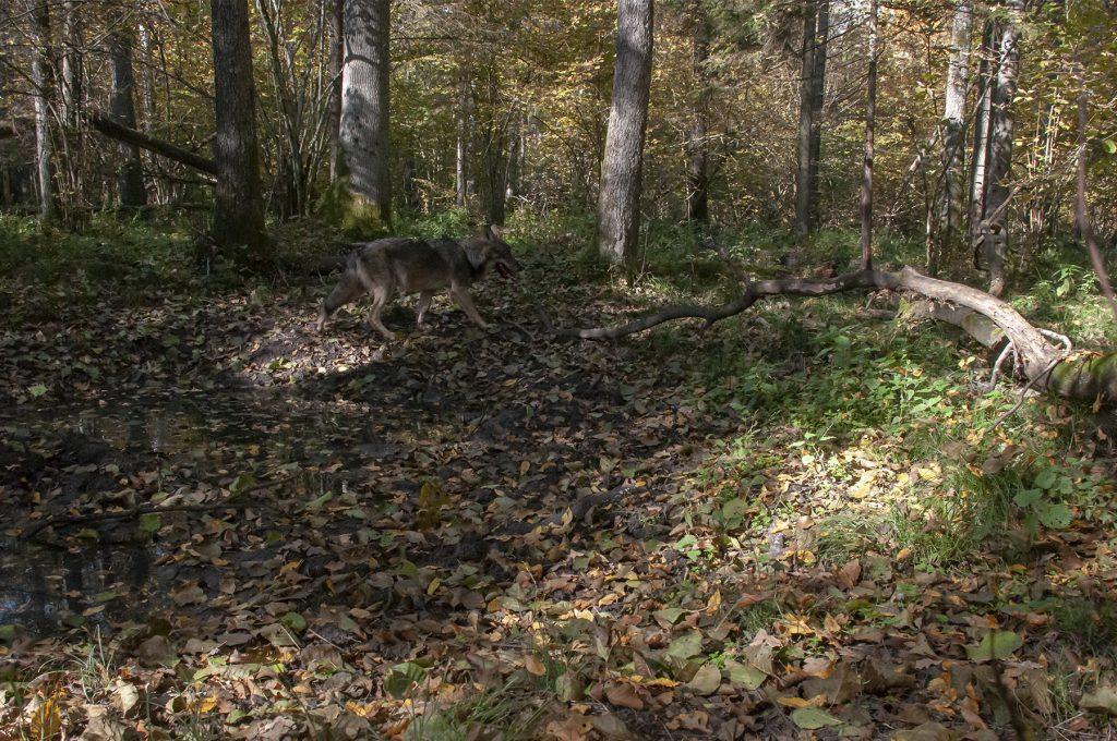 Wilk (Canis lupus). fot. J. Solarczyk