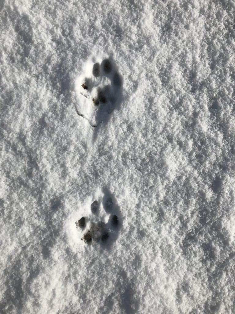 Trop rysia euroazjatyckiego (Lynx lynx). fot. J. Solarczyk